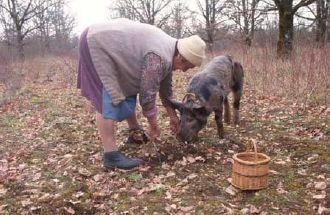 Comment trouver des truffes avec un chien