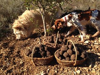 La récolte des truffes: chien truffier ou cochon truffier?
